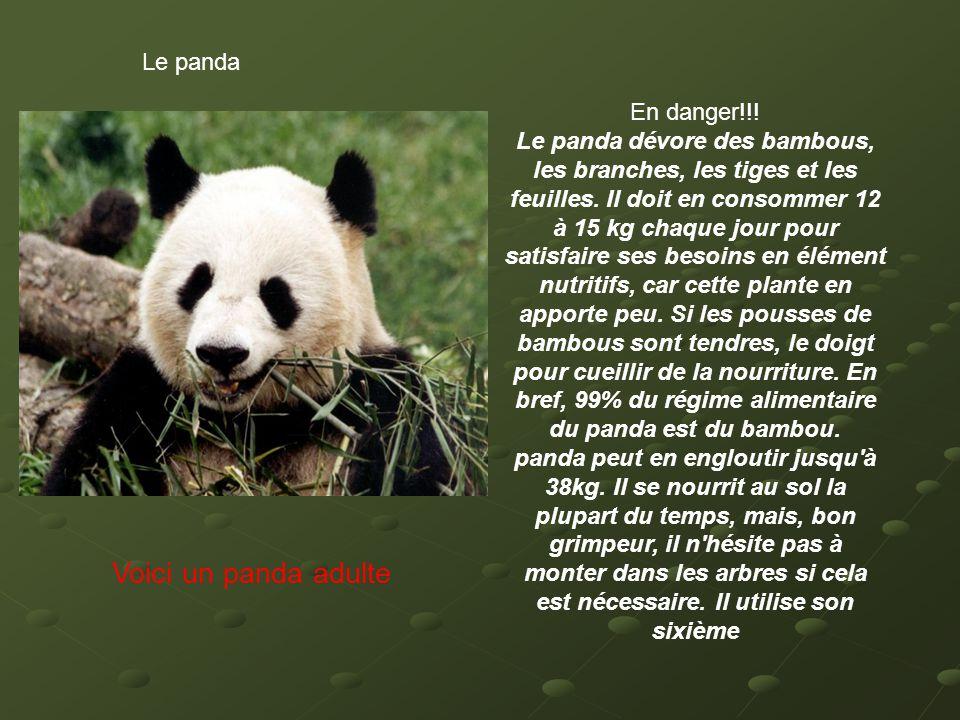 Voici un panda adulte Le panda En danger!!!