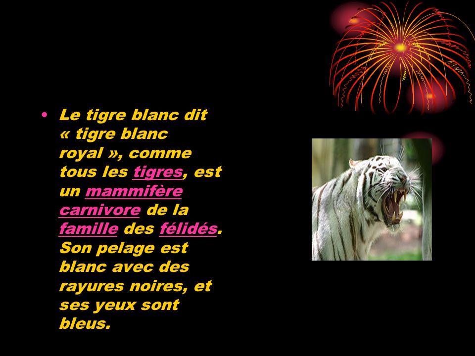 Le tigre blanc dit « tigre blanc royal », comme tous les tigres, est un mammifère carnivore de la famille des félidés.