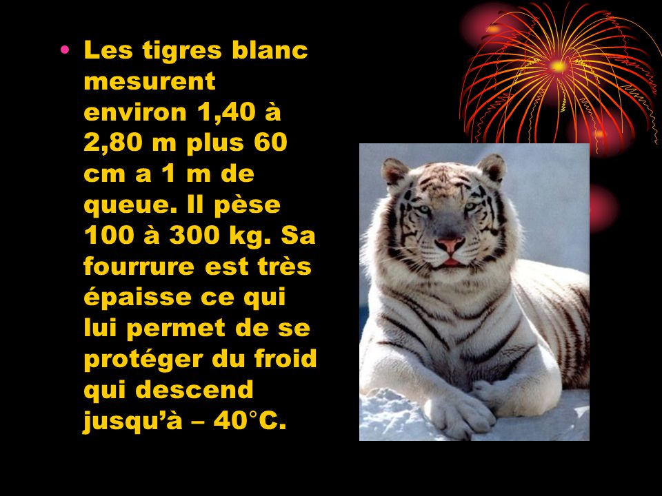 Les tigres blanc mesurent environ 1,40 à 2,80 m plus 60 cm a 1 m de queue.