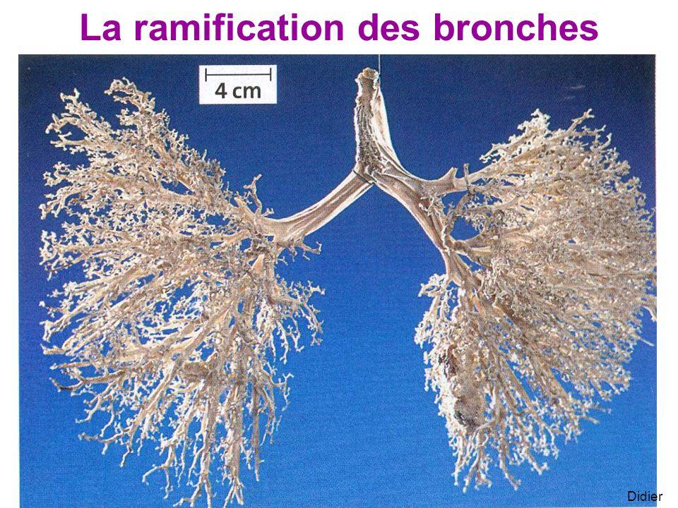La ramification des bronches