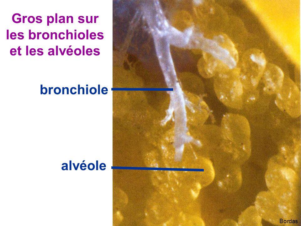 Gros plan sur les bronchioles et les alvéoles