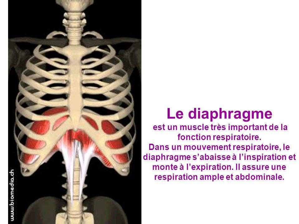 est un muscle très important de la fonction respiratoire.