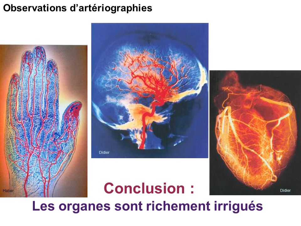 Les organes sont richement irrigués