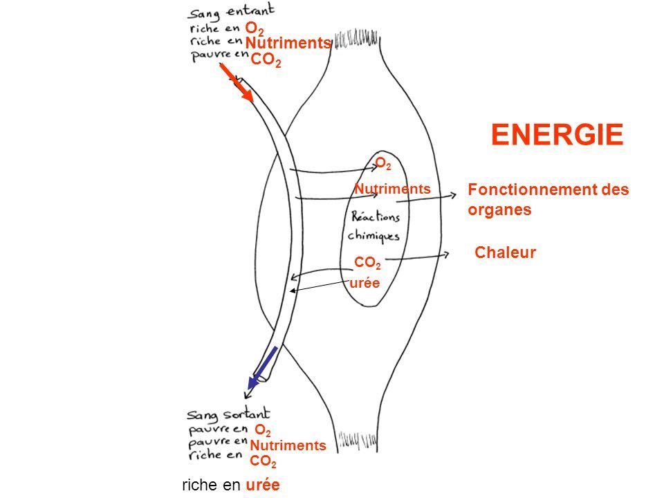 ENERGIE O2 Nutriments CO2 Fonctionnement des organes Chaleur