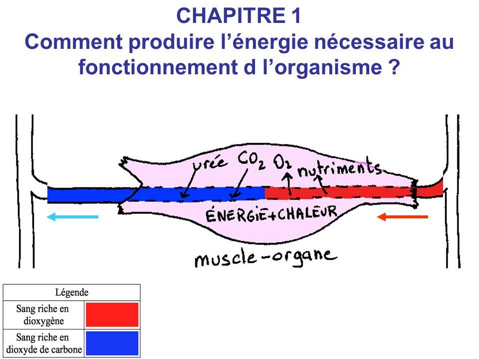 CHAPITRE 1 Comment produire l'énergie nécessaire au fonctionnement d l'organisme