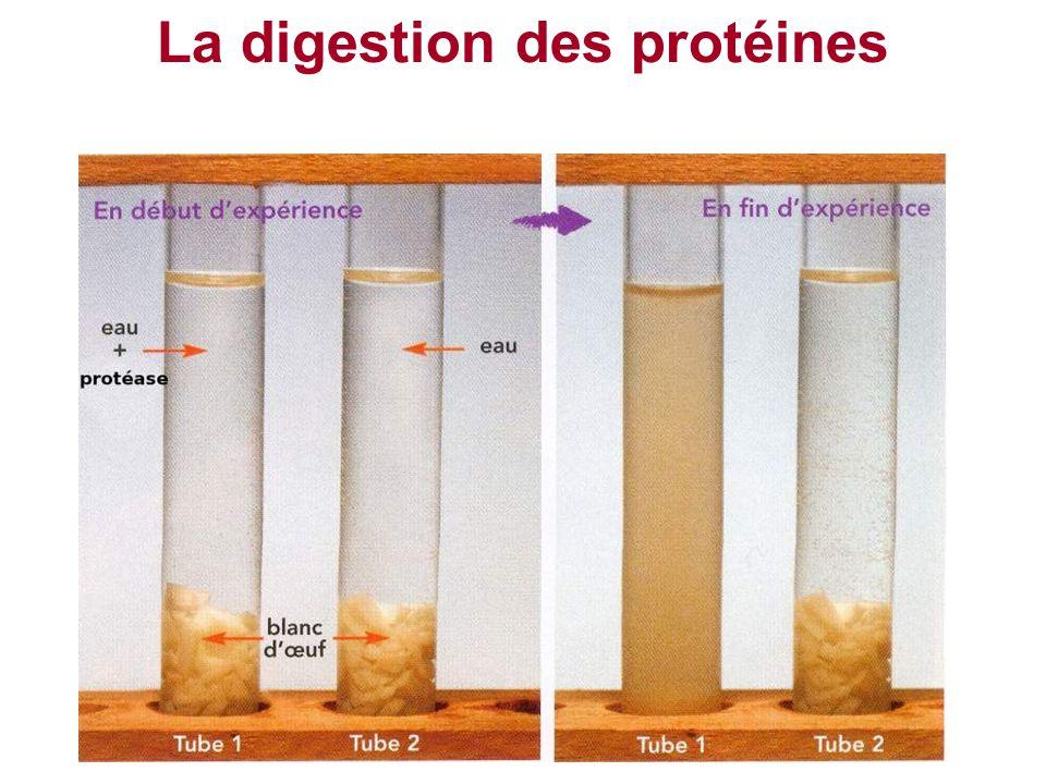 La digestion des protéines