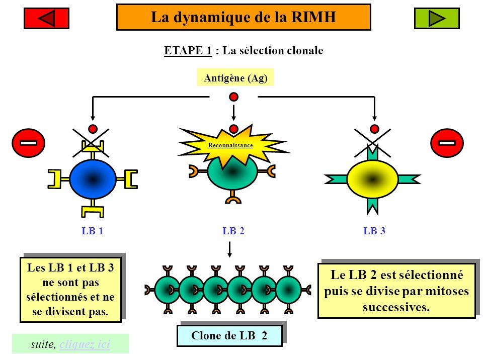 La dynamique de la RIMH ETAPE 1 : La sélection clonale. Antigène (Ag) Reconnaissance. LB 1. LB 2.