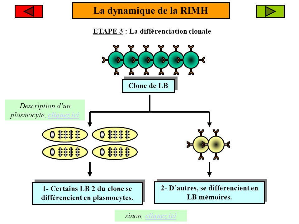 La dynamique de la RIMH ETAPE 3 : La différenciation clonale