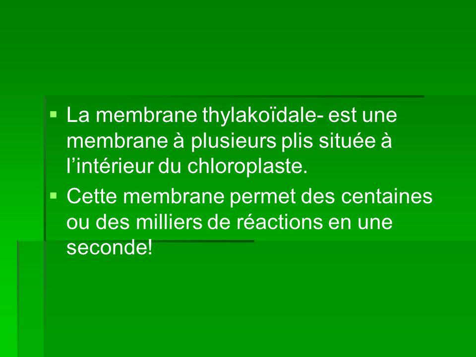 La membrane thylakoïdale- est une membrane à plusieurs plis située à l'intérieur du chloroplaste.