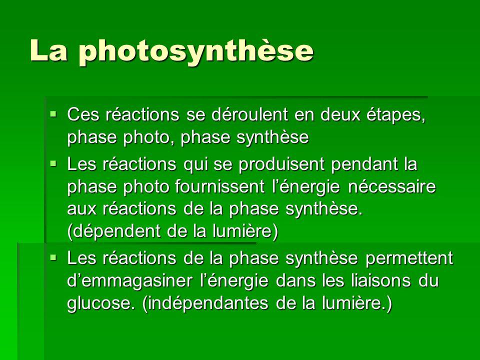 La photosynthèse Ces réactions se déroulent en deux étapes, phase photo, phase synthèse.