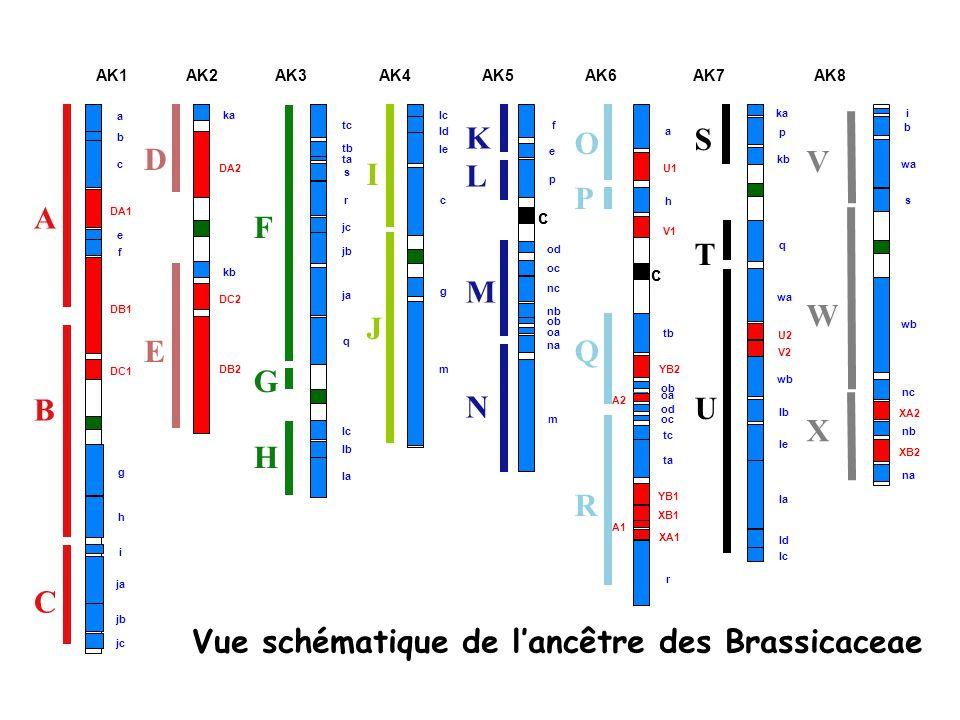 Vue schématique de l'ancêtre des Brassicaceae