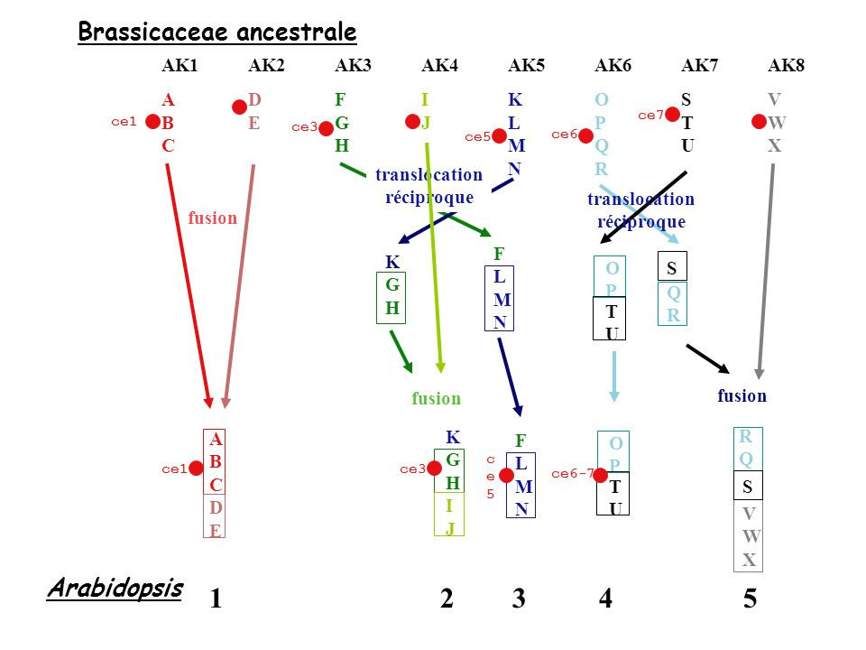 1 2 3 4 5 Brassicaceae ancestrale Arabidopsis