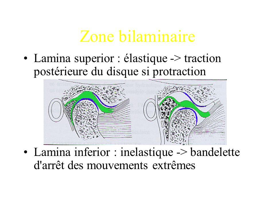 Zone bilaminaire Lamina superior : élastique -> traction postérieure du disque si protraction.