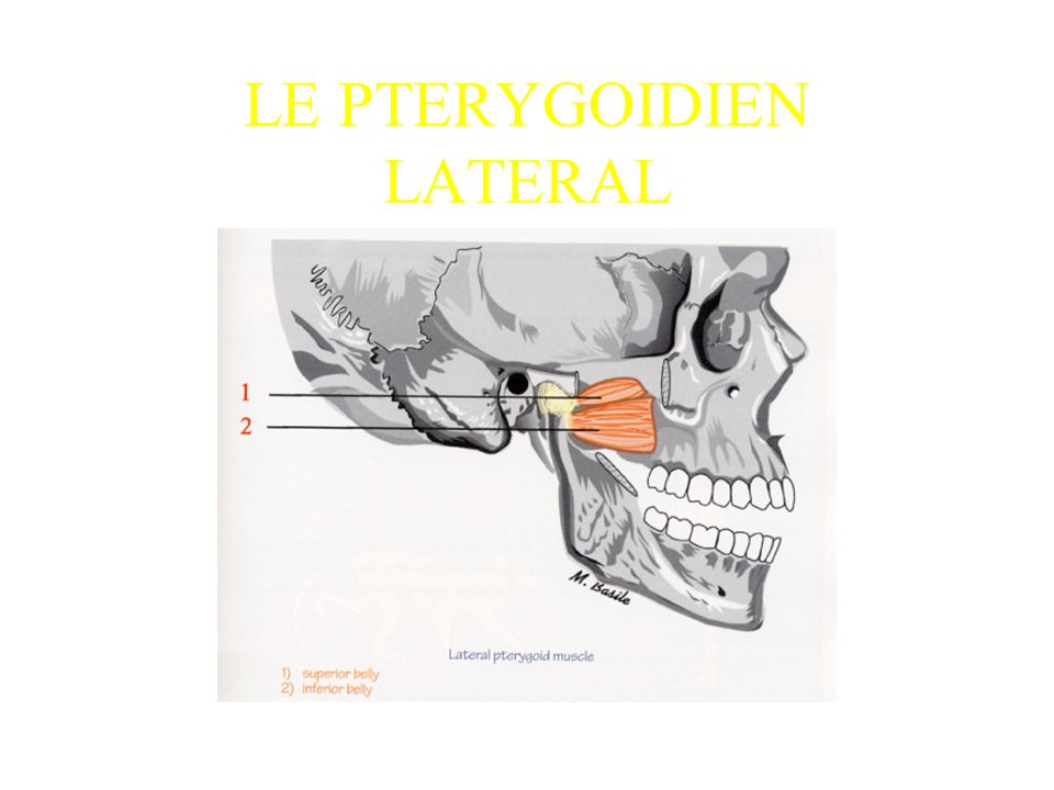 LE PTERYGOIDIEN LATERAL