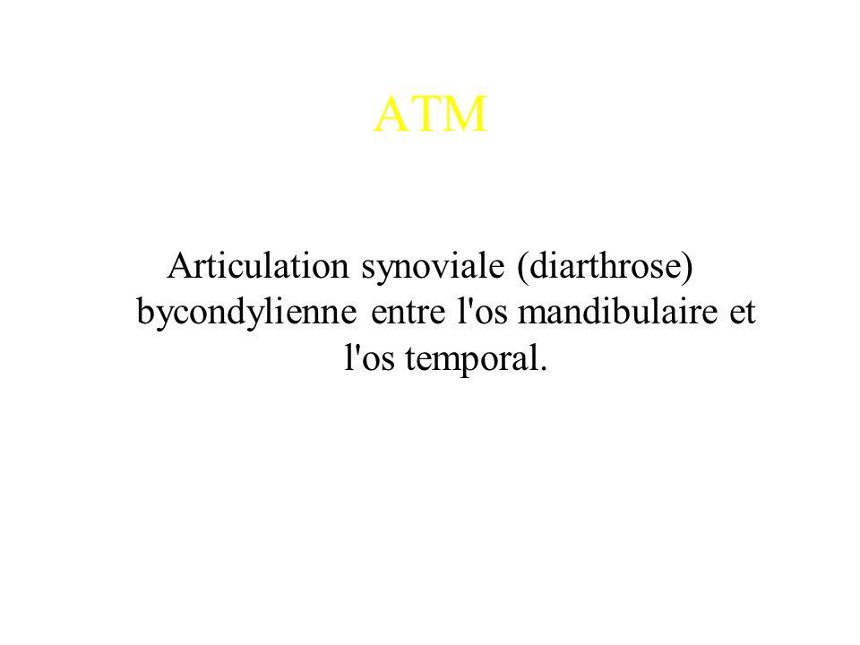 ATM Articulation synoviale (diarthrose) bycondylienne entre l os mandibulaire et l os temporal.