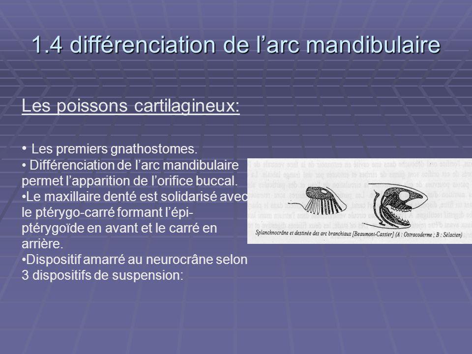 1.4 différenciation de l'arc mandibulaire