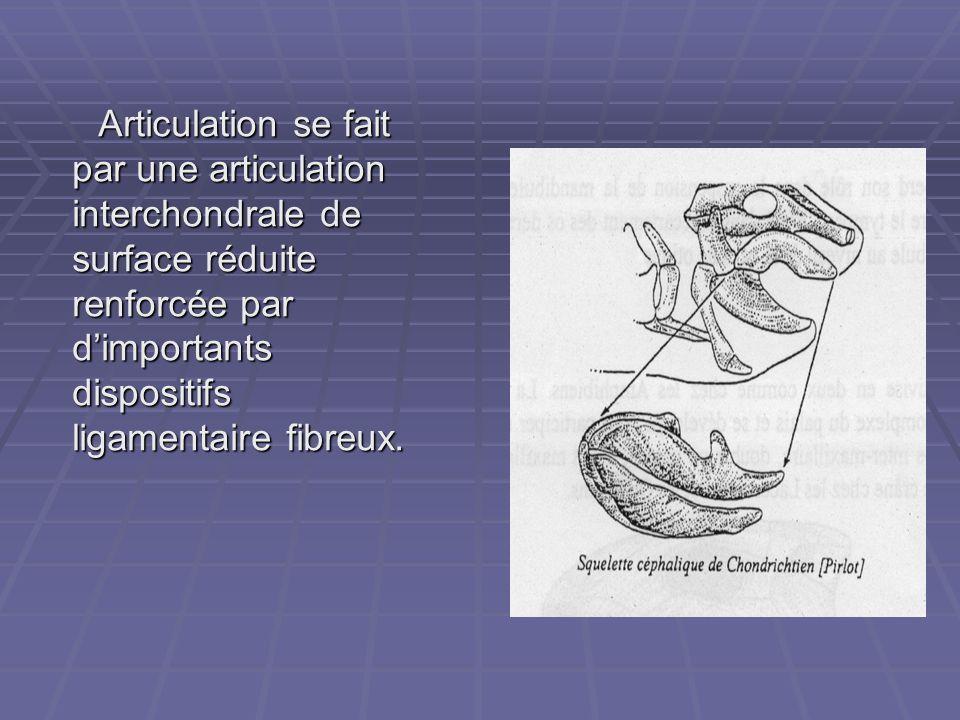 Articulation se fait par une articulation interchondrale de surface réduite renforcée par d'importants dispositifs ligamentaire fibreux.