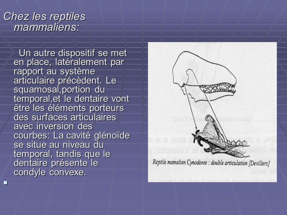 Chez les reptiles mammaliens: