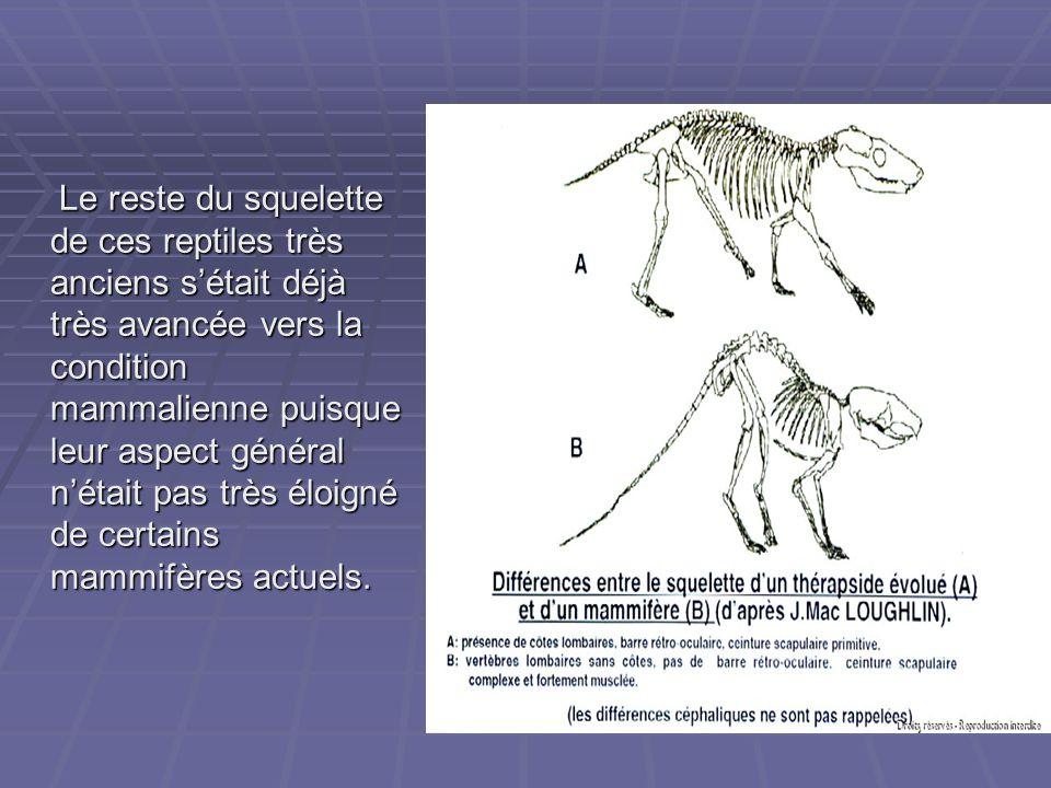 Le reste du squelette de ces reptiles très anciens s'était déjà très avancée vers la condition mammalienne puisque leur aspect général n'était pas très éloigné de certains mammifères actuels.