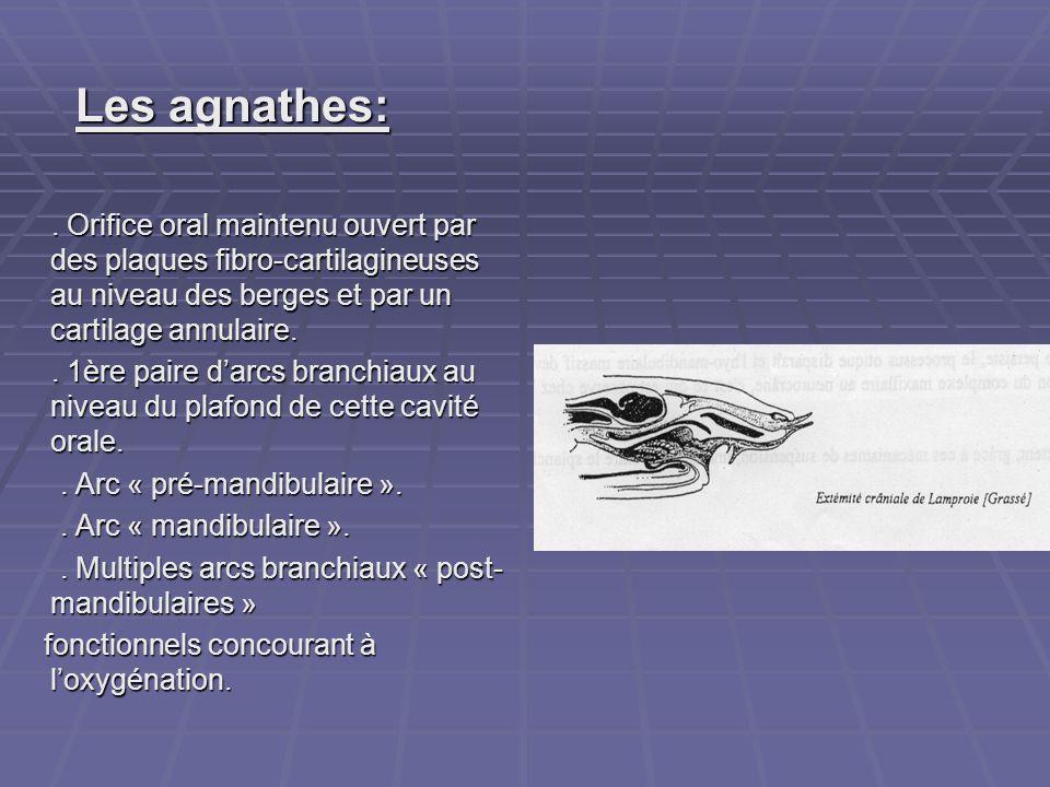 Les agnathes: . Orifice oral maintenu ouvert par des plaques fibro-cartilagineuses au niveau des berges et par un cartilage annulaire.