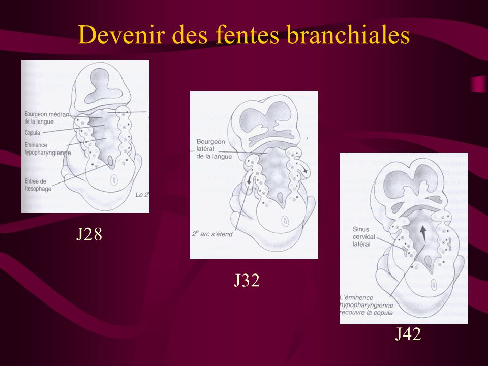 Devenir des fentes branchiales