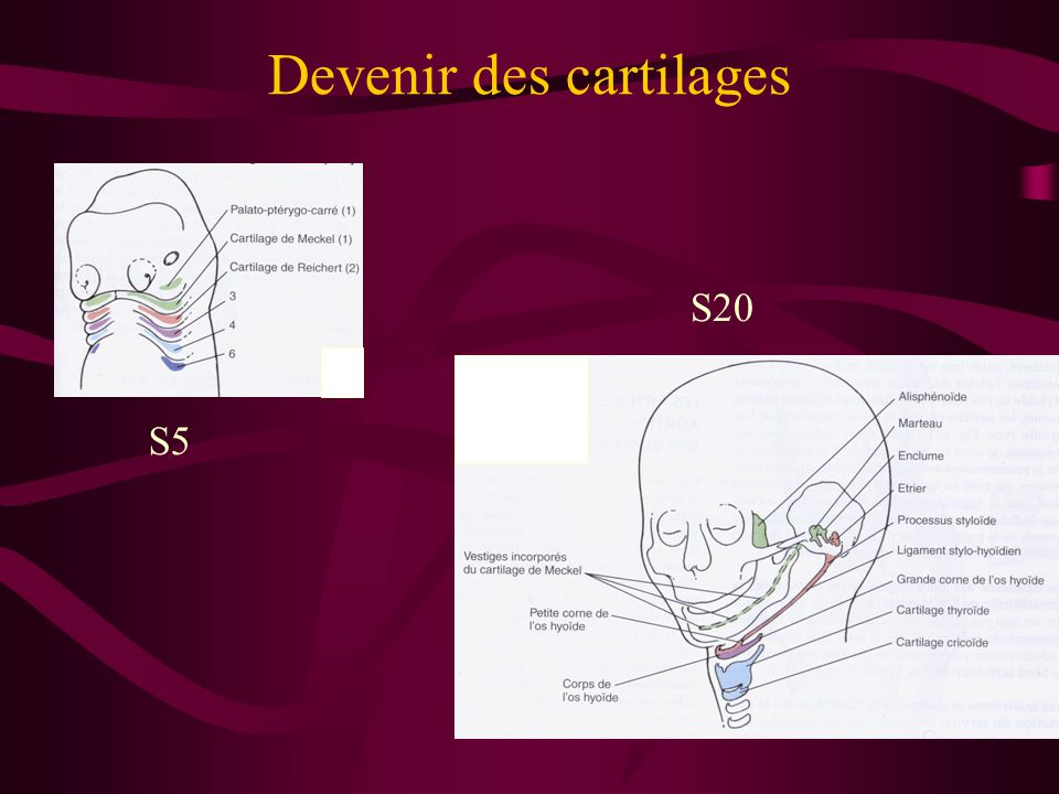 Devenir des cartilages