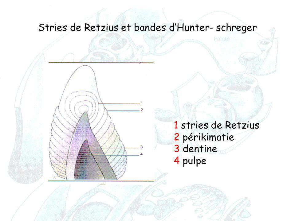 1 stries de Retzius 2 périkimatie 3 dentine 4 pulpe