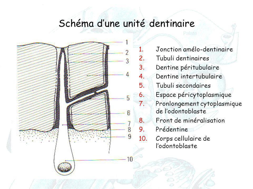 Schéma d'une unité dentinaire