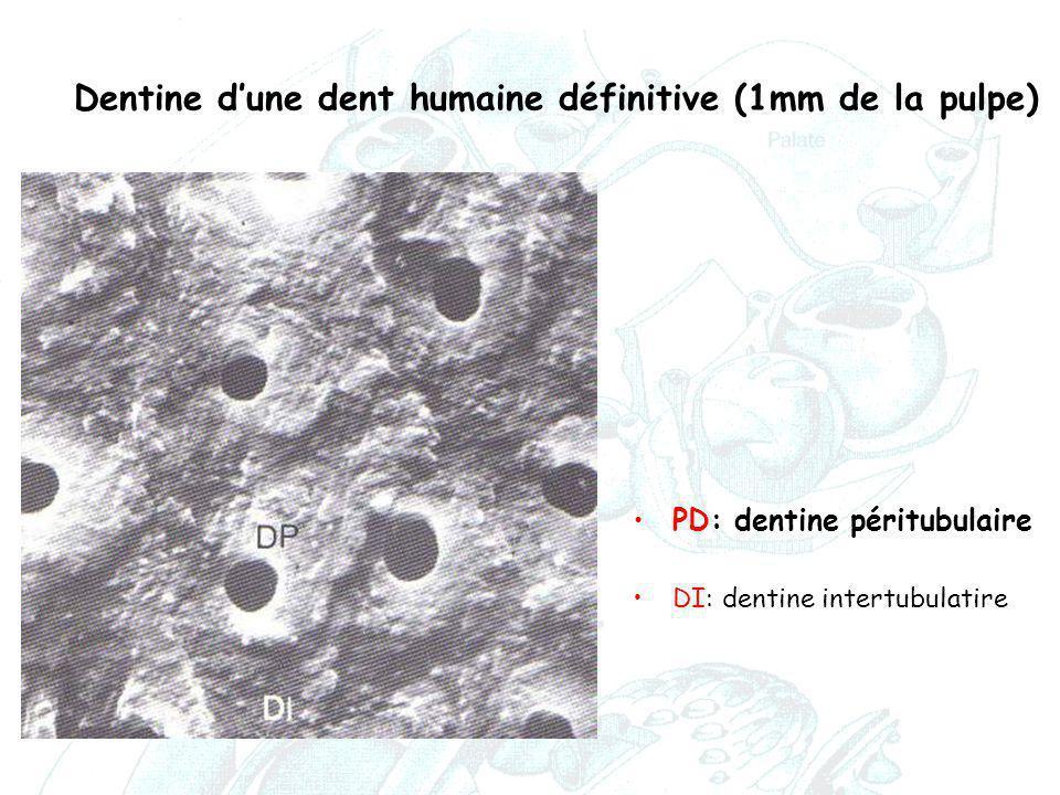 Dentine d'une dent humaine définitive (1mm de la pulpe)