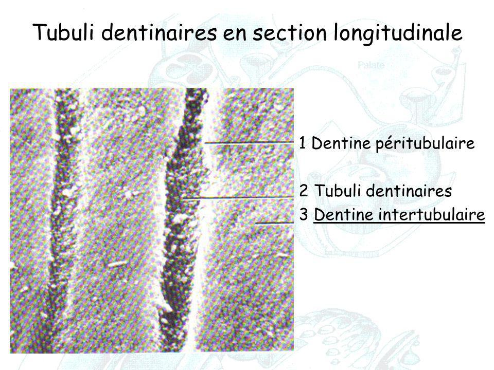 Tubuli dentinaires en section longitudinale