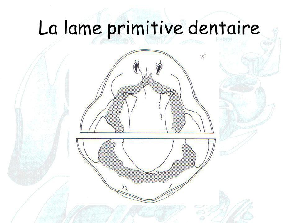 La lame primitive dentaire