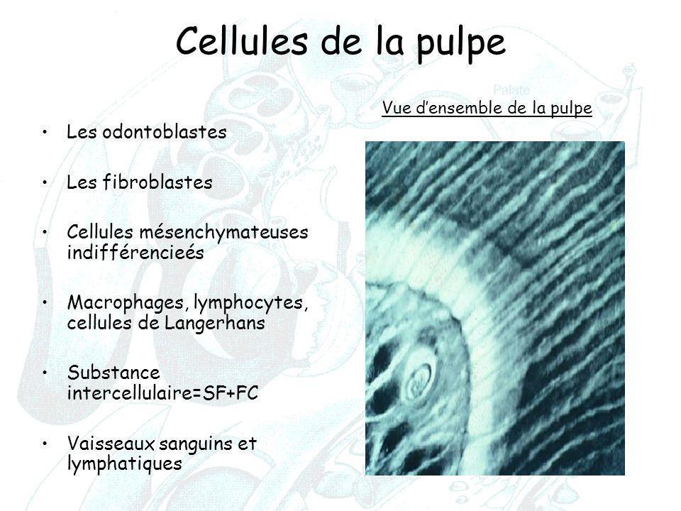 Cellules de la pulpe Les odontoblastes Les fibroblastes