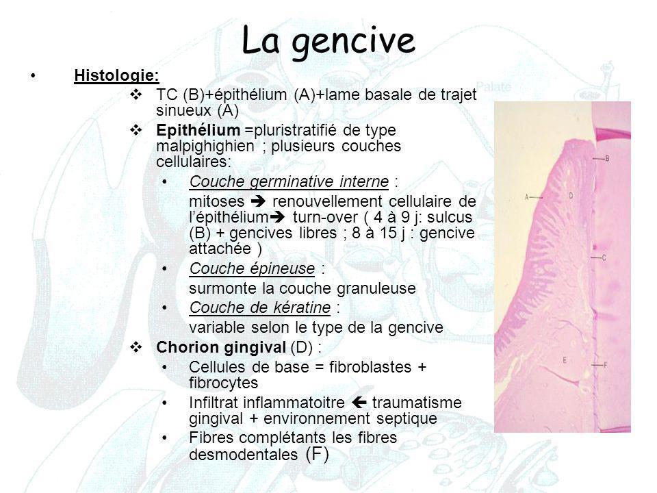 La gencive Histologie: