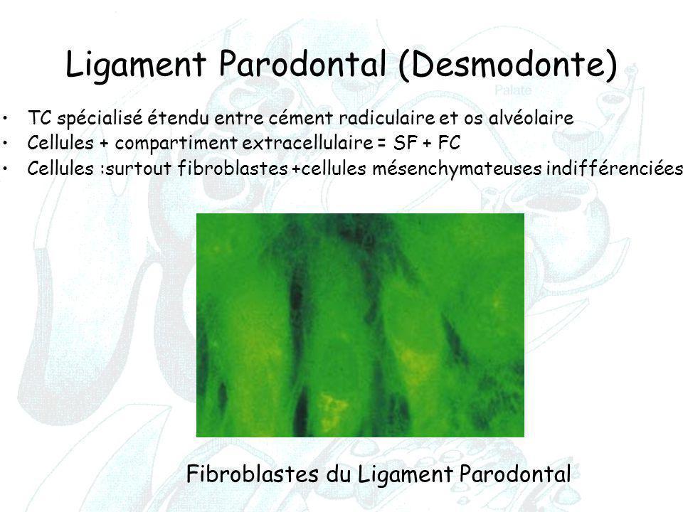 Ligament Parodontal (Desmodonte)