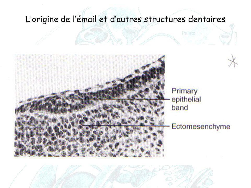 L'origine de l'émail et d'autres structures dentaires