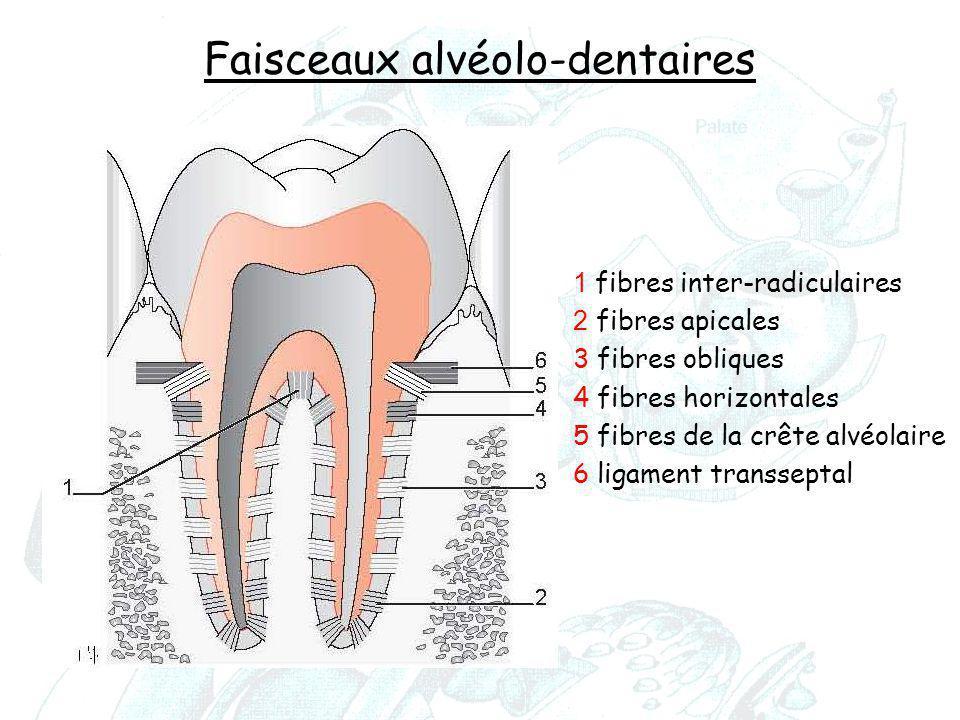 Faisceaux alvéolo-dentaires