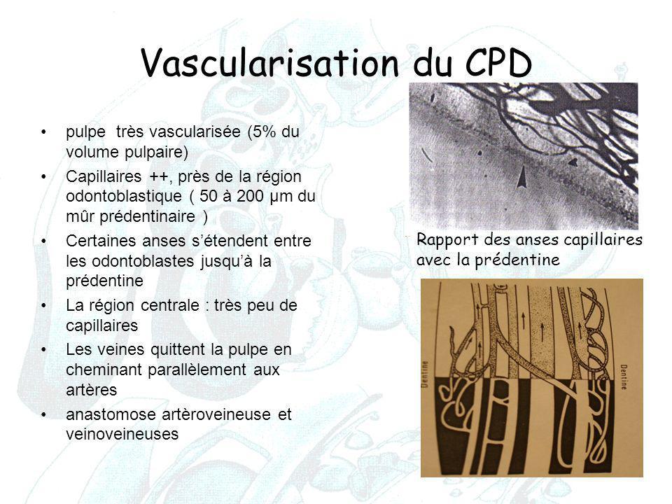 Vascularisation du CPD