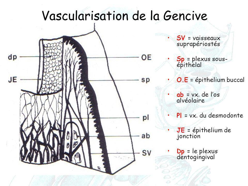 Vascularisation de la Gencive