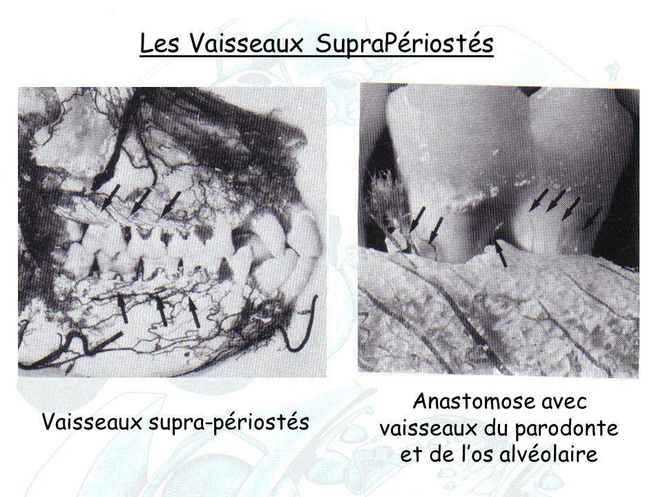 Anastomose avec vaisseaux du parodonte et de l'os alvéolaire