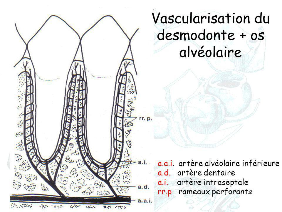 desmodonte + os alvéolaire
