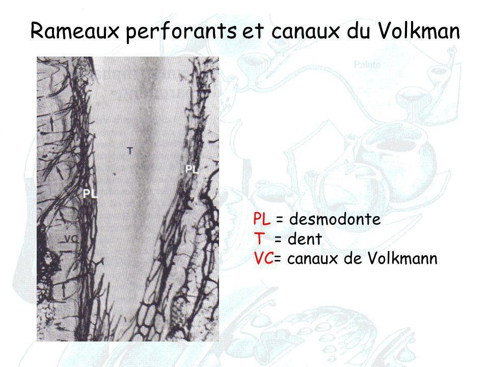 Rameaux perforants et canaux du Volkman