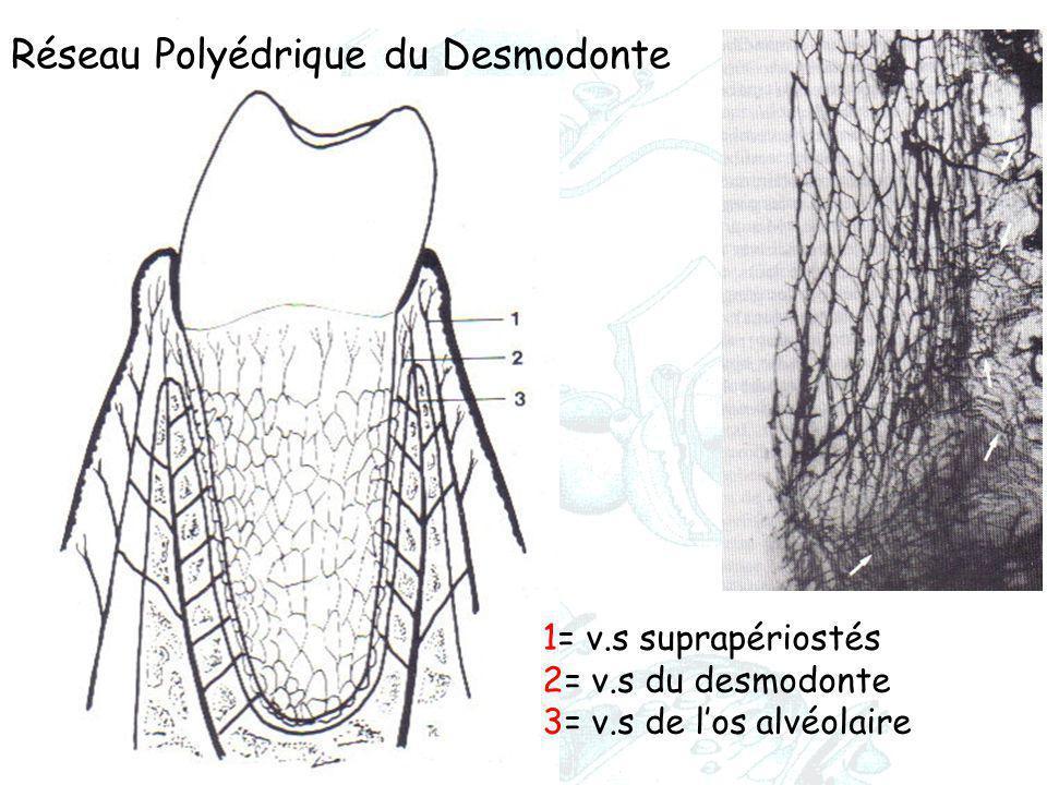 1= v.s suprapériostés 2= v.s du desmodonte 3= v.s de l'os alvéolaire