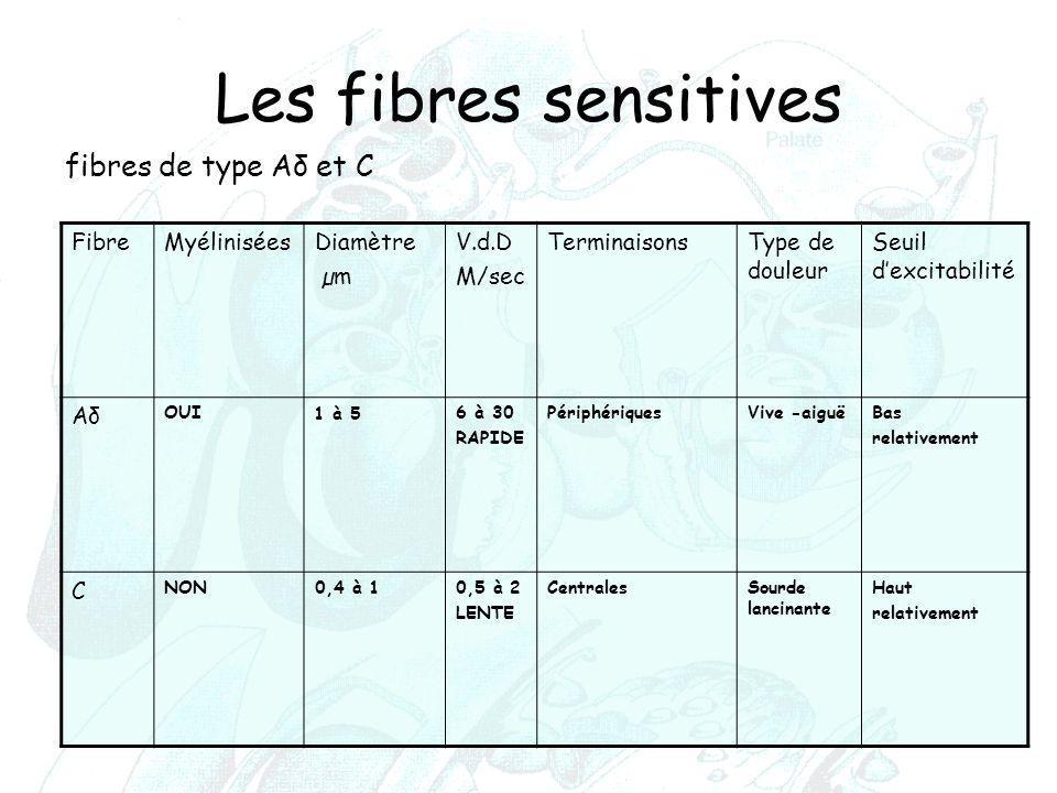 Les fibres sensitives fibres de type Aδ et C Fibre Myélinisées