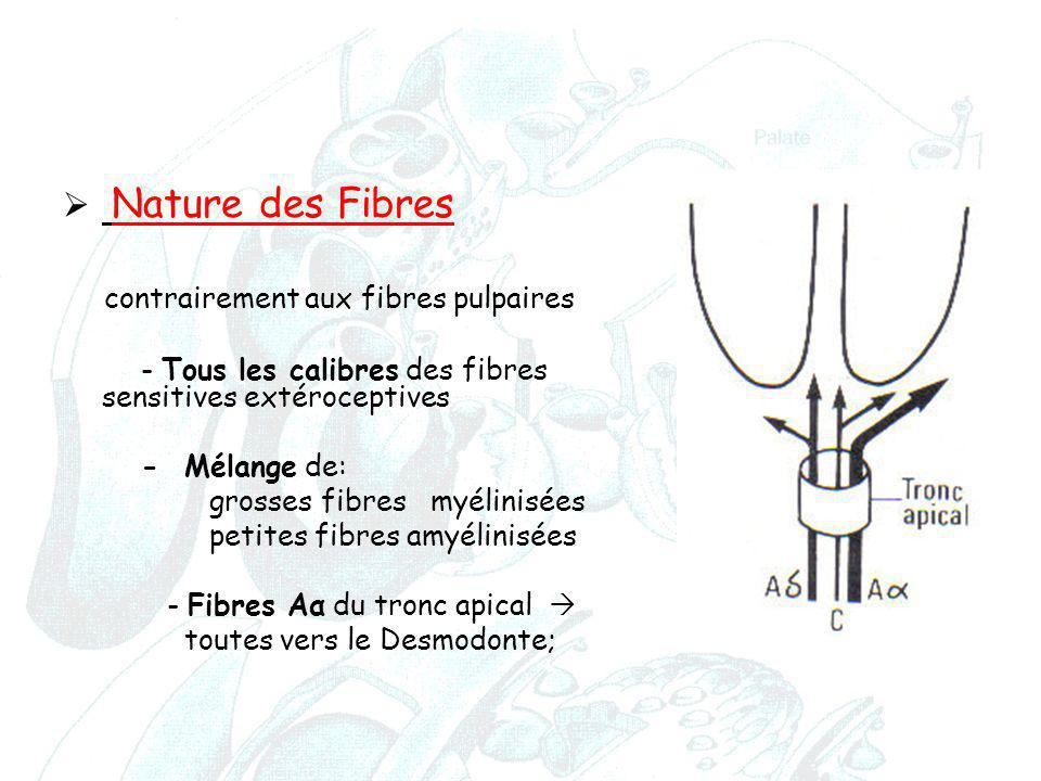 contrairement aux fibres pulpaires