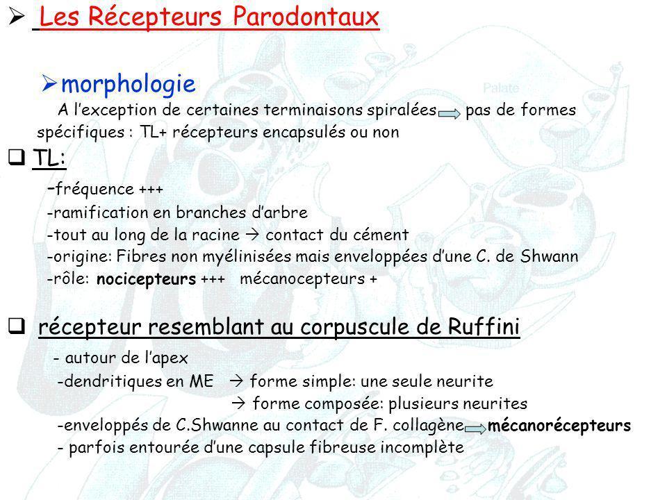 Les Récepteurs Parodontaux