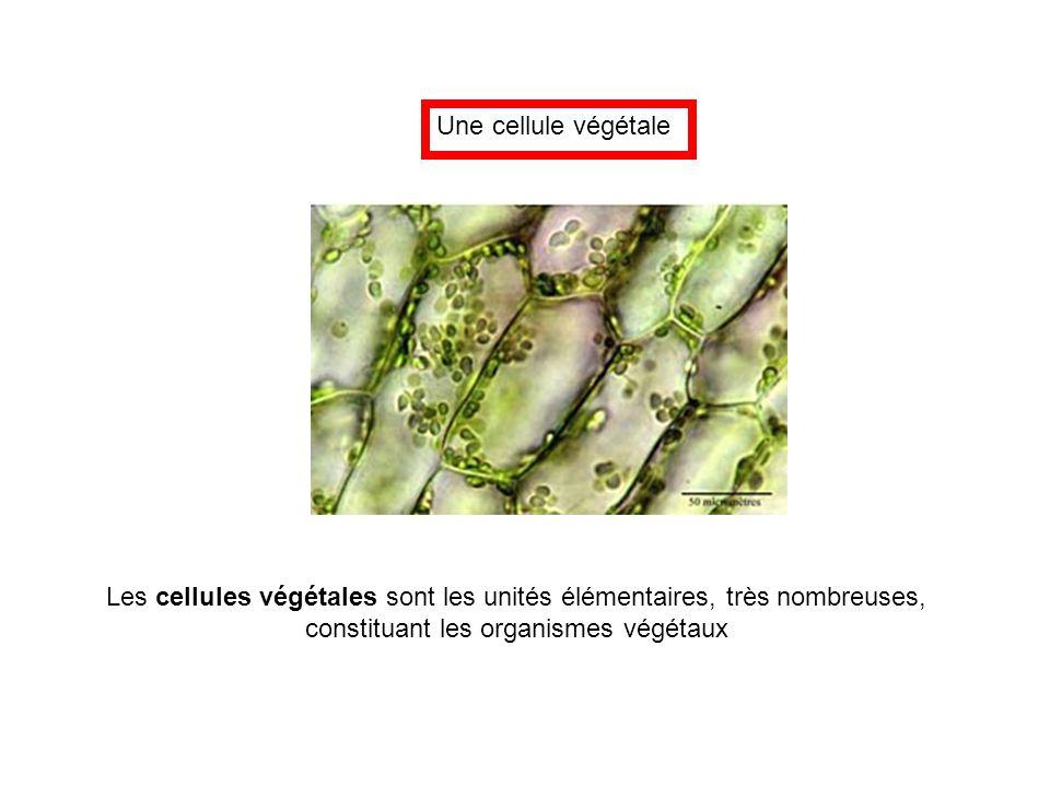 Les cellules végétales sont les unités élémentaires, très nombreuses,