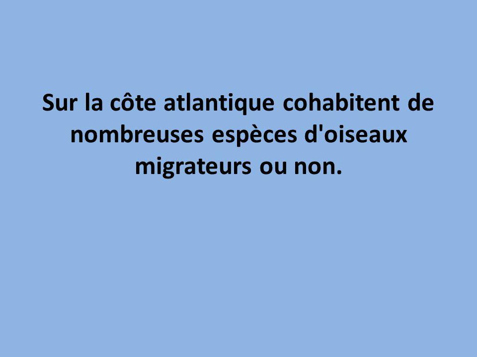 Sur la côte atlantique cohabitent de nombreuses espèces d oiseaux migrateurs ou non.