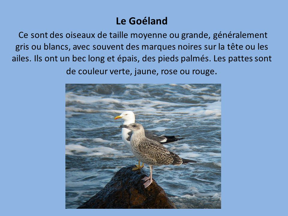 Le Goéland Ce sont des oiseaux de taille moyenne ou grande, généralement gris ou blancs, avec souvent des marques noires sur la tête ou les ailes.