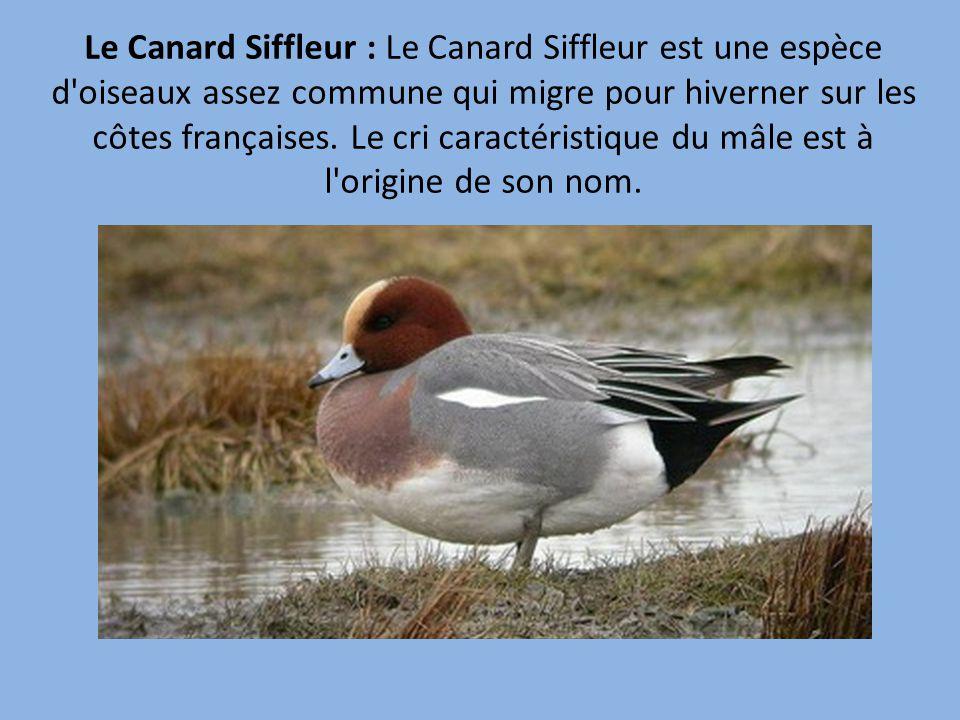 espèces canard sauvage