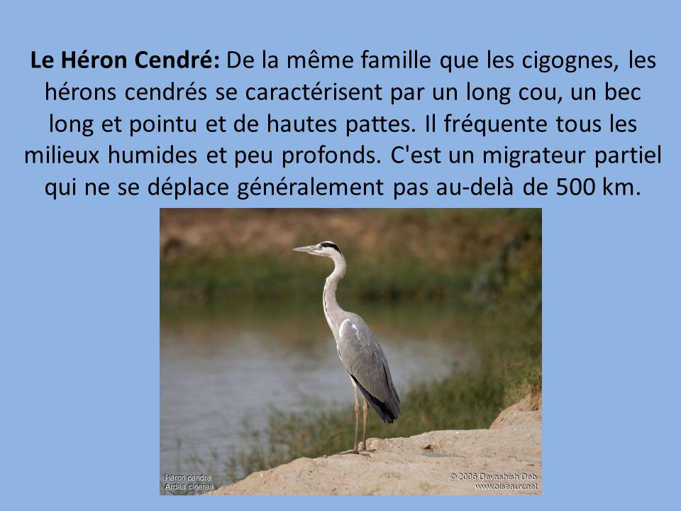 Le Héron Cendré: De la même famille que les cigognes, les hérons cendrés se caractérisent par un long cou, un bec long et pointu et de hautes pattes.